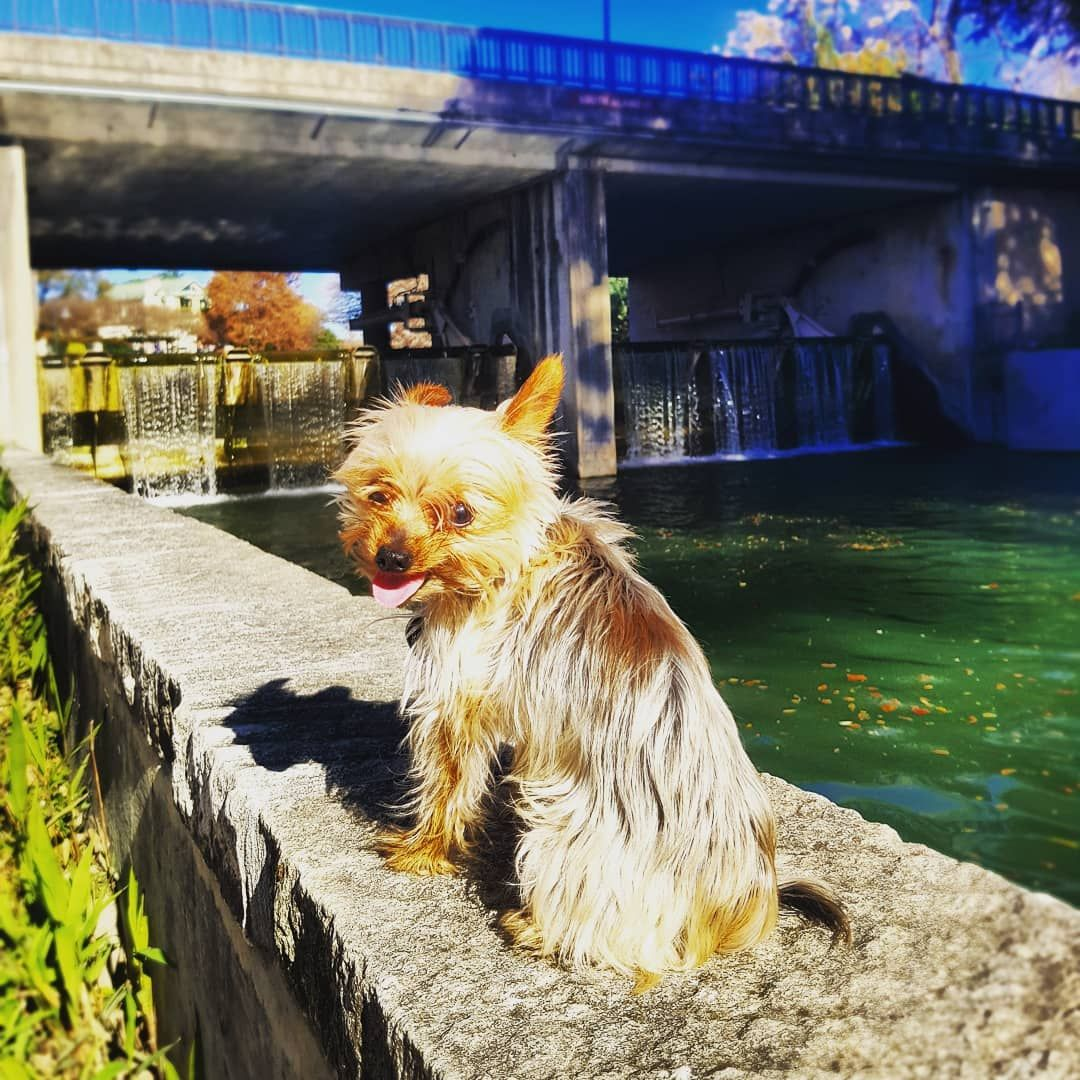 Roland Loves The River Sanantonio Riverwalk Yorkie Yorkielove Yorkiegram River Walk River Yorkie