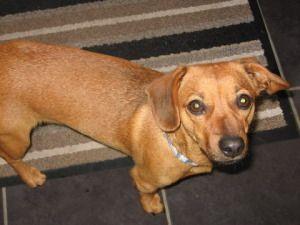 Adopt Bella On Dachshund Rescue Adoptable Dachshund Dog Dachshund