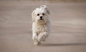 Havanese Puppies Available Ontario Dogs Puppies For Sale