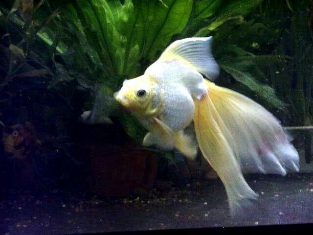 White And Yellow Broadtail Ryukin Ryukin Goldfish