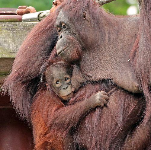 Sumatran Orangutan Jewel And Sabbar Ouwehands Bb2a9259 Sumatran Orangutan Orangutan Animals