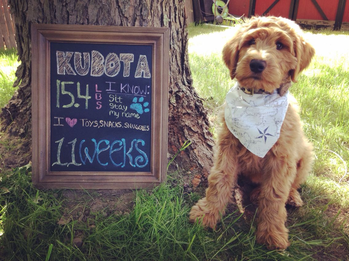 Growthchart Goldendoodle Puppy Handsome 11weeks With Images