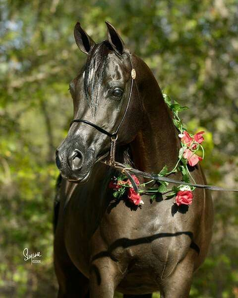 ~ :: Rhapsody in Black  (Thee Desperado x Aliashahm RA )  1994 Black Mare  :: Equine Photography by Suzanne  :: :: Black Arabian Horses ::