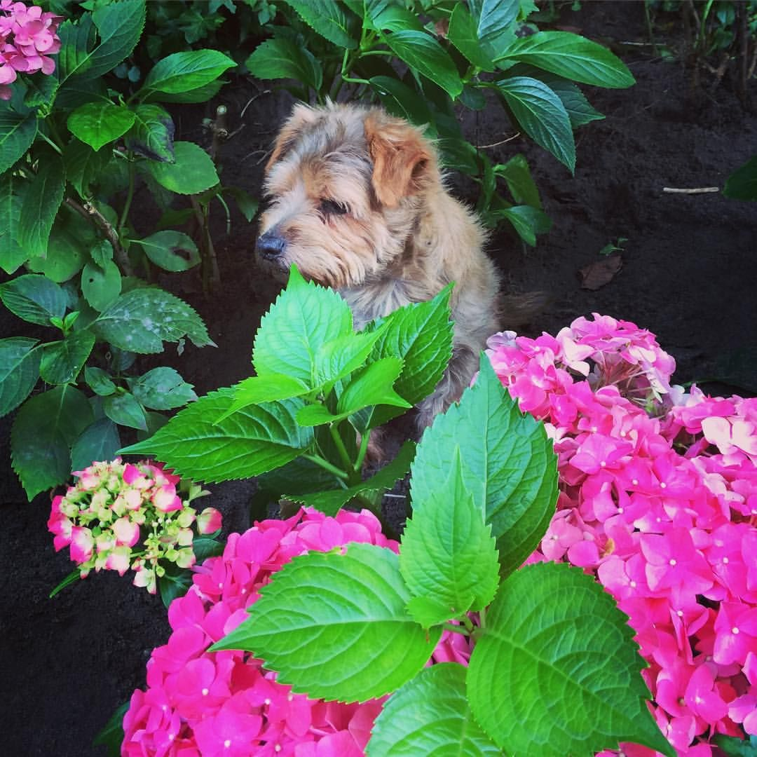 So cute!  ❤️   #homestylinginspiration  #home #homedeco #homeinspo #homeinspiration #homestyling #homestylinginspo #homestylingideas #homestylingtips #homesweethome #homedecoration #homedecorating #homedecor #instadecor #inspiration #instahome #interior #instainterior #decor #interiordesign #norfolkterrier #hydrangea