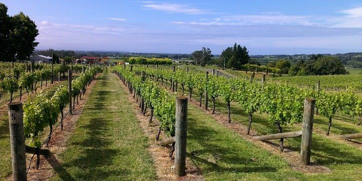 Vineyards, Napier, North Island, New Zealand, Oceania