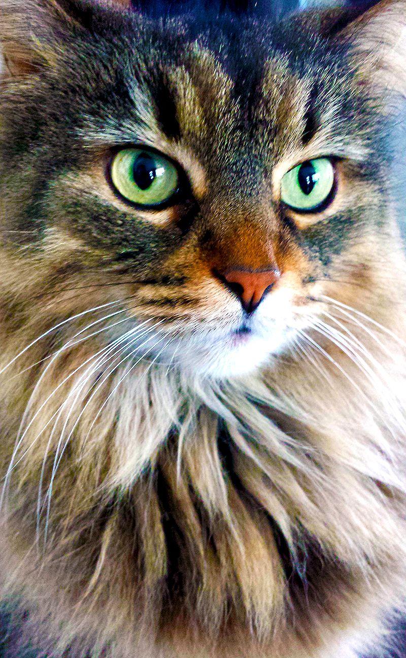 My Beautiful Norwegian Cat Shiva Mon Beau Chat Des Forets
