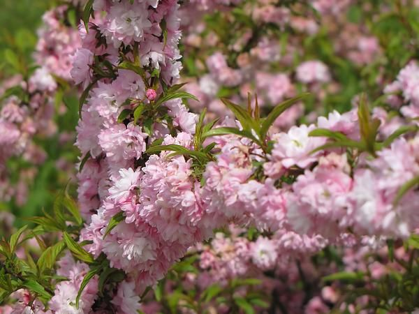Flowering almond bush is covered in puffy pink flowers in this new flowering almond bush is covered in puffy pink flowers in this new england spring image captured in new hampshire mightylinksfo
