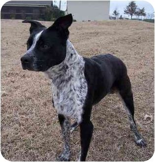 Boston Terrier Blue Heeler Mix Dog For Adoption In Marion
