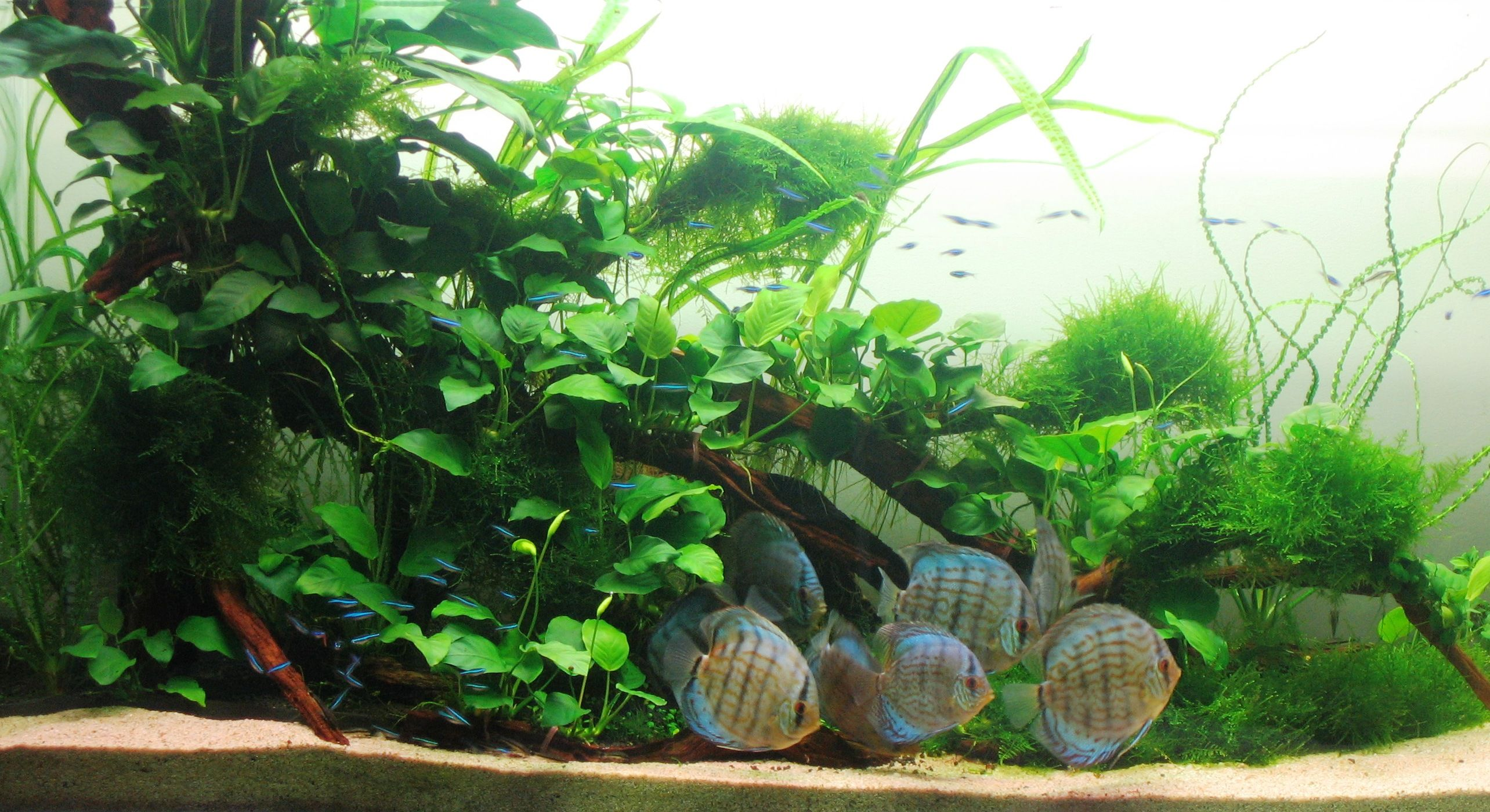 Fish for natural aquarium - Anubias Are The Most Common Plants In Aquarium They Are Expensive Too It Can Live Even In 30 Deg Temp Since Discus Live In 30 Deg Temp Only Echinodorous