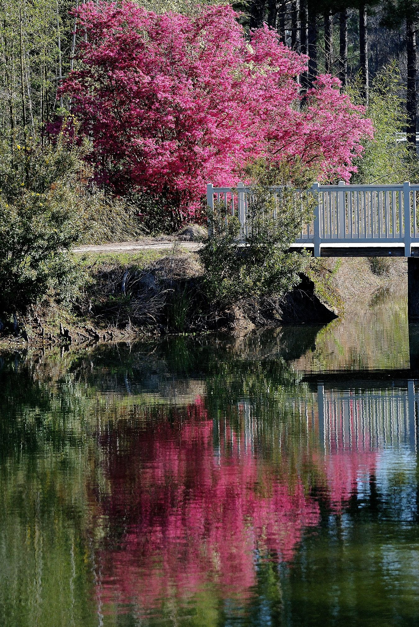 Loropetalums Reflect On Clear Lakes. Botanical GardensGeorgiaCoastal LakesPondsRivers