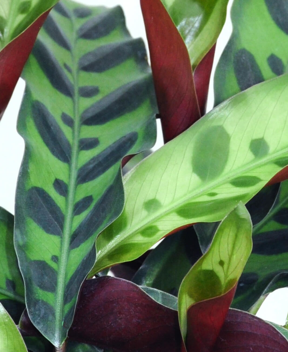 Why Are My Calathea S Leaves Turning Brown Bloomscape Calathea Plant Plant Leaves Turning Brown Calathea