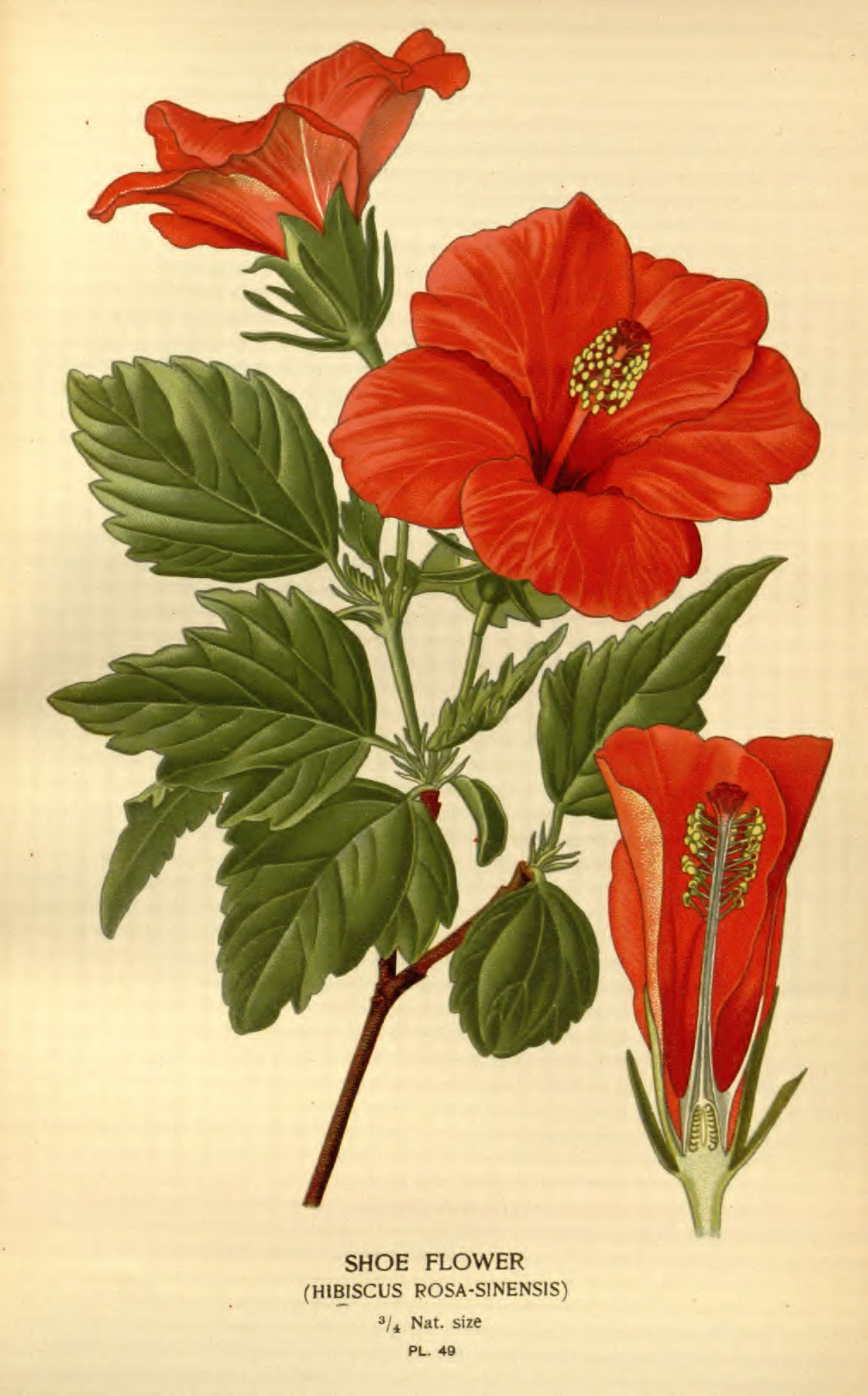 Hibiscus Rosa Sinensis Illustration Favourite Flowers Of Garden And Greenhouse V01 Edward Step 189 Botanical Drawings Hibiscus Drawing Botanical Illustration