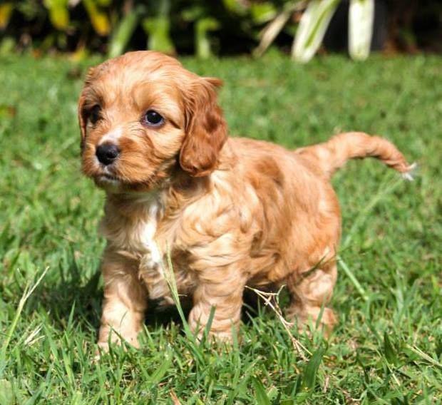 Cockervoodle 6 Weeks Old Cavapoo Puppies Golden Retriever