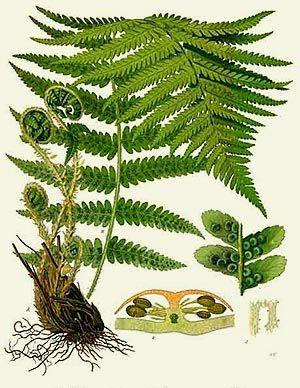Fougère mâle (Aspidium filix)| Remèdes de Grand-Mère