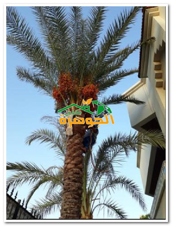 شركة تكريب نخيل بالطائف 01025284450 للايجار معلم تكريب نخيل بالطائف Taif Plants Tower