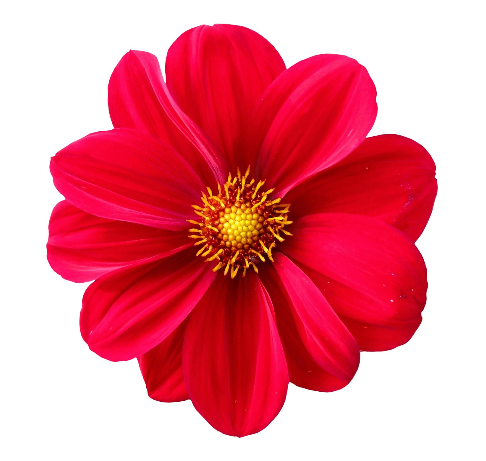 Dahlia Flower Png Image Flower Png Images Flower Clipart Flower Aesthetic