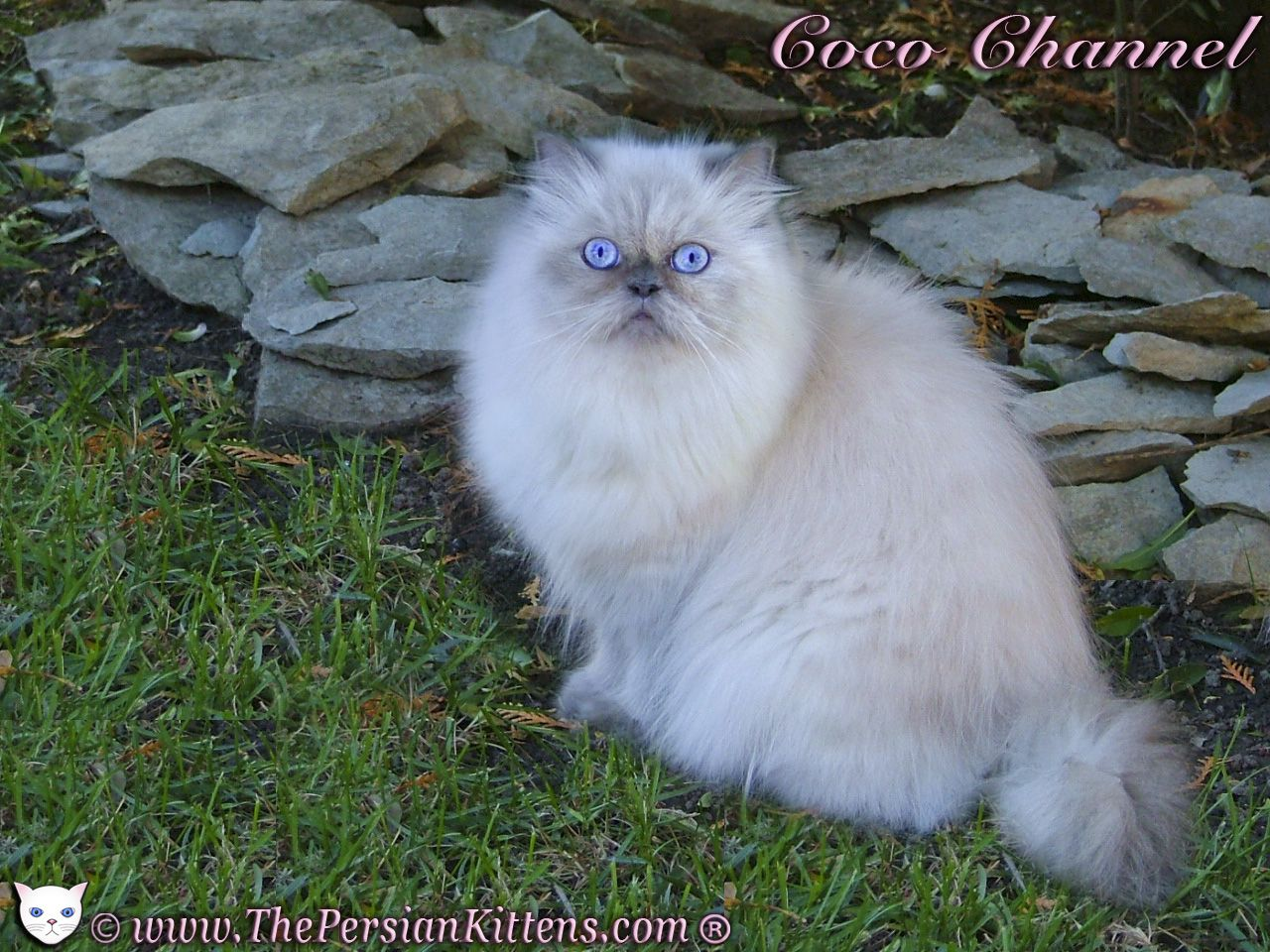 I love this beautiful Persian cat name Coco Channel