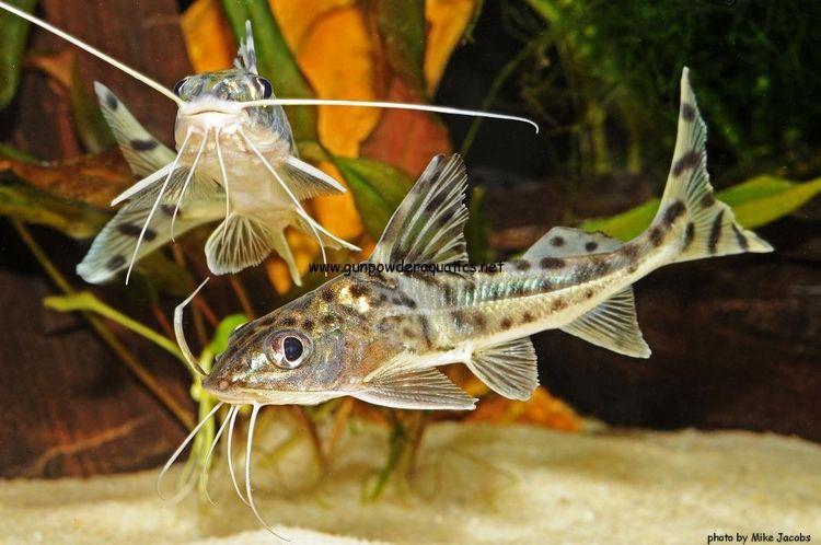 Pictus Catfish Aquarium Catfish Tropical Fish Aquarium Catfish