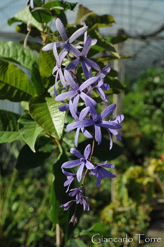 Petrea volubilis  una rampicante semisempreverde che in primavera - estate  ci regala una spettacolare fioritura 98ad2916fb4