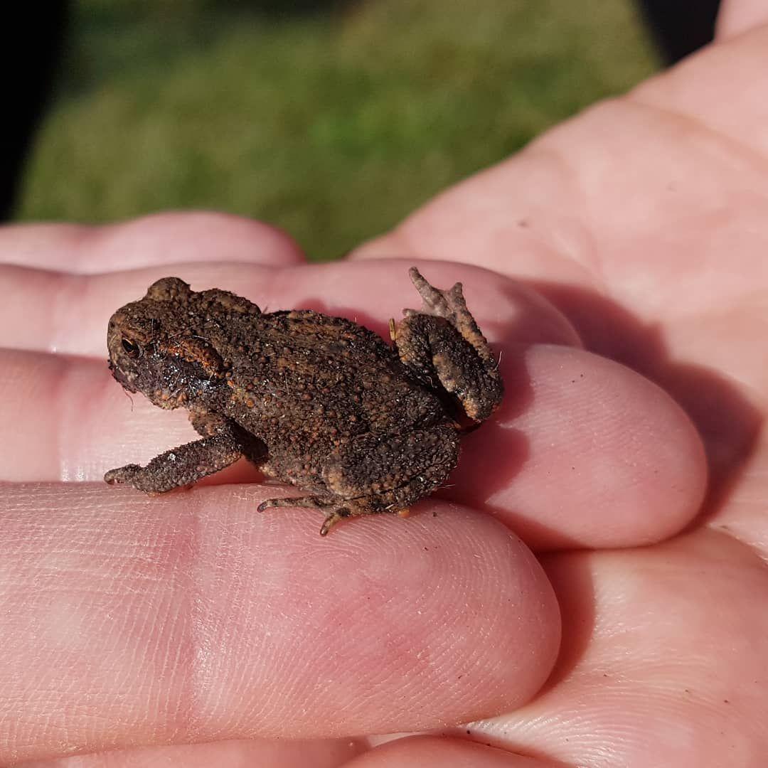 Habe Heute Diese Kleine Erdkrote Bei Meiner Gartenarbeit Gefunden Ich Freue Mich Jedes Mal Wie Ein Kleines Kind Wenn Gartenarbeit Tiere Amphibien