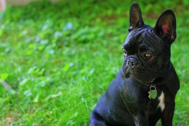 Puppy Love Frenchie French Bulldog French Bulldog Puppies