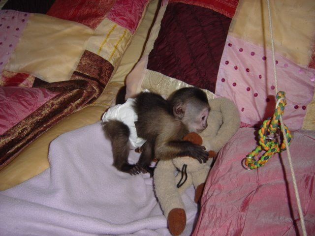 X Mass Working Class Female Capuchin Monkey For Adoption Metairie La Cute Baby Monkey Pet Monkey Capuchin Monkey