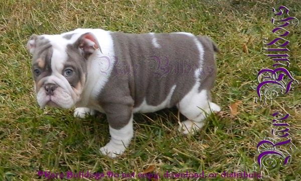 Poppleton Lilac English Bulldog Sired By Extreme Z English