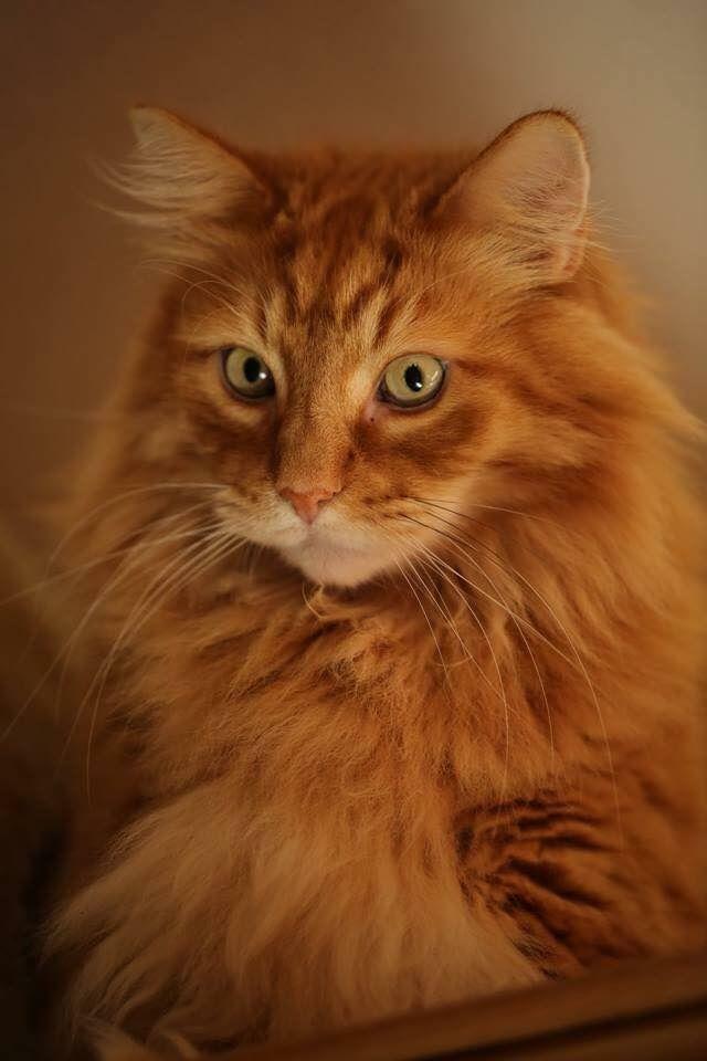 Pin By Jennifer Freiberg On Kitties Beautiful Cats Ginger Cats Siberian Cat