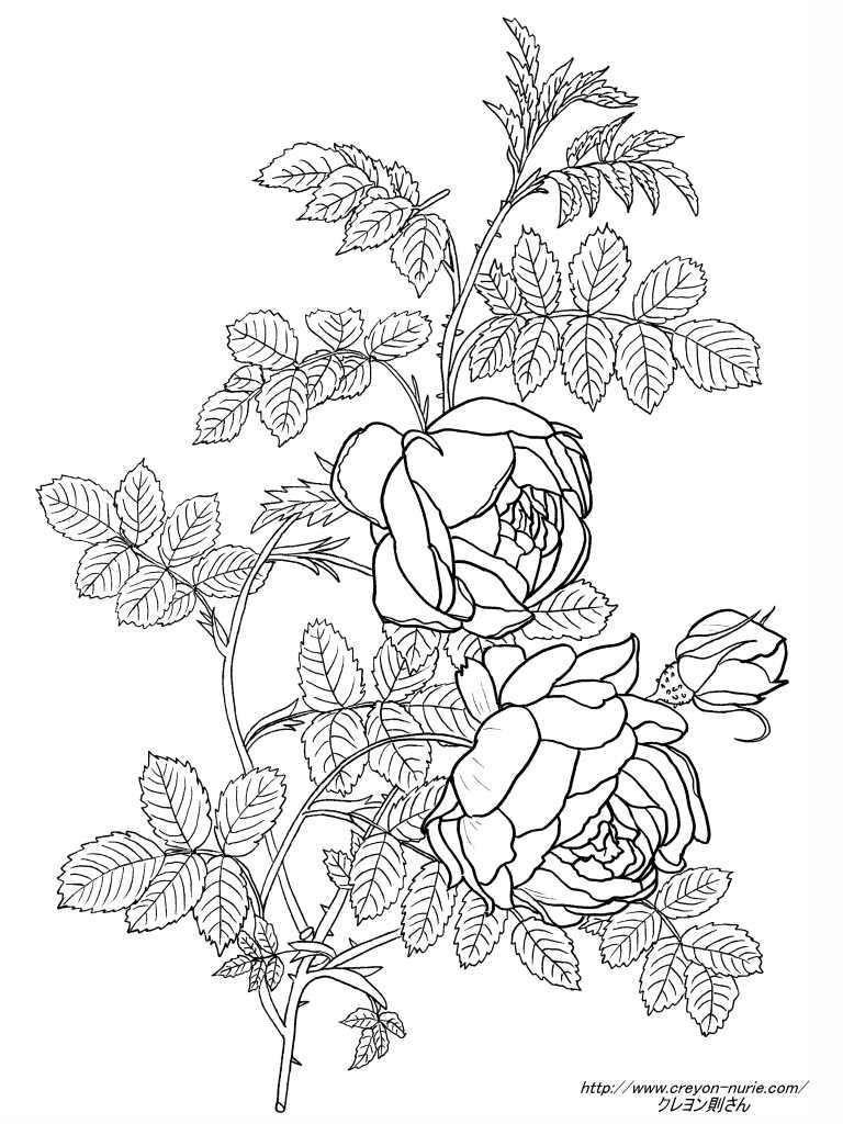 ルドゥーテの黄色の薔薇の植物画の塗り絵の下絵画像 花 塗り絵