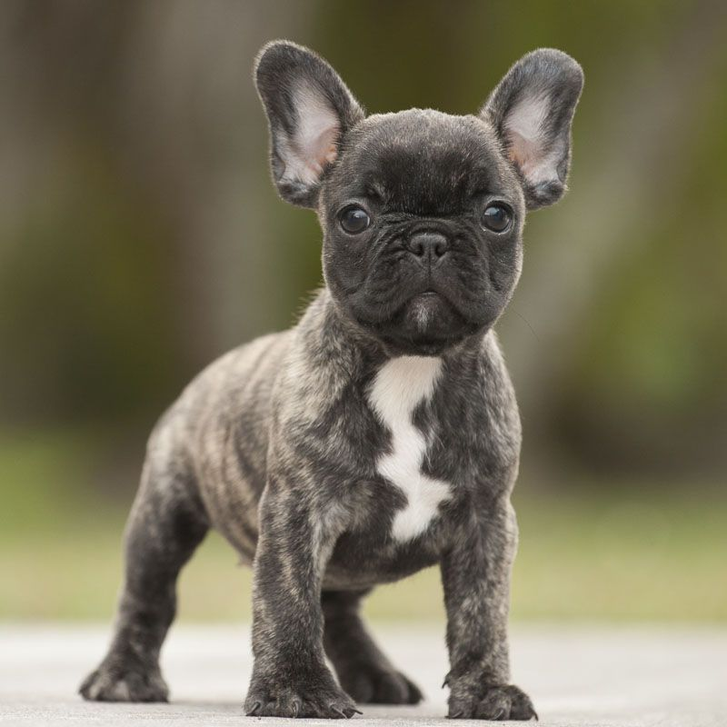 I Would Love To Have A White English Bulldog Puppy With Images