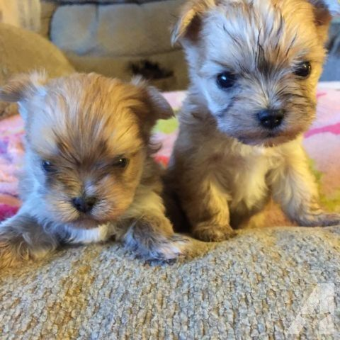1 Male 1 Female Morkie Morkie Puppies Morkie Puppies For Sale