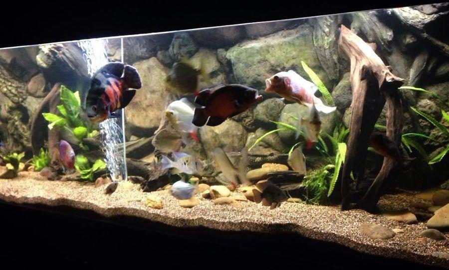 3d Amazon Background Setup Inside Large Fish Tank With Oscars We Do