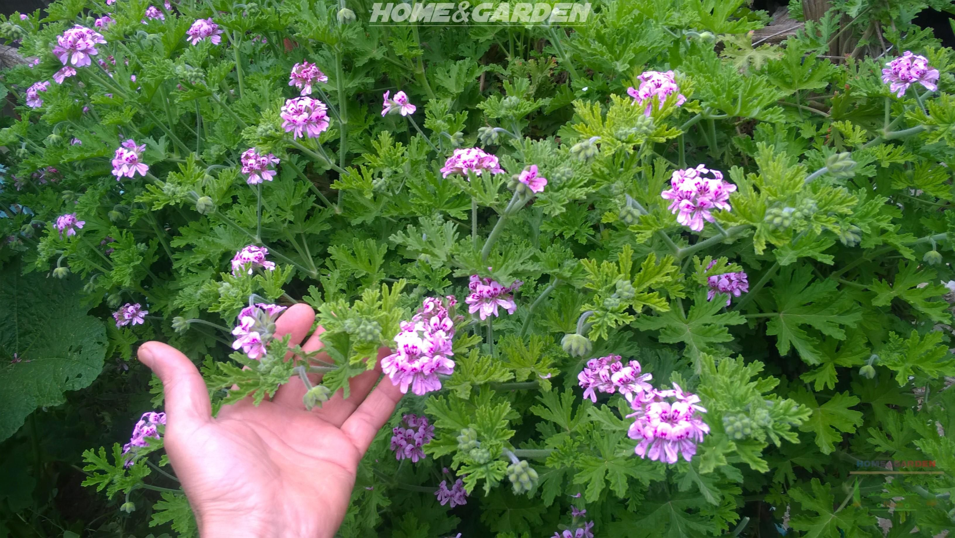 Delightfully Fragrant And Easy To Grow Rose Scented Geranium Is A Fast Growing Plant With Hi Rose Scented Geranium Scented Geranium Rose Geranium Essential Oil