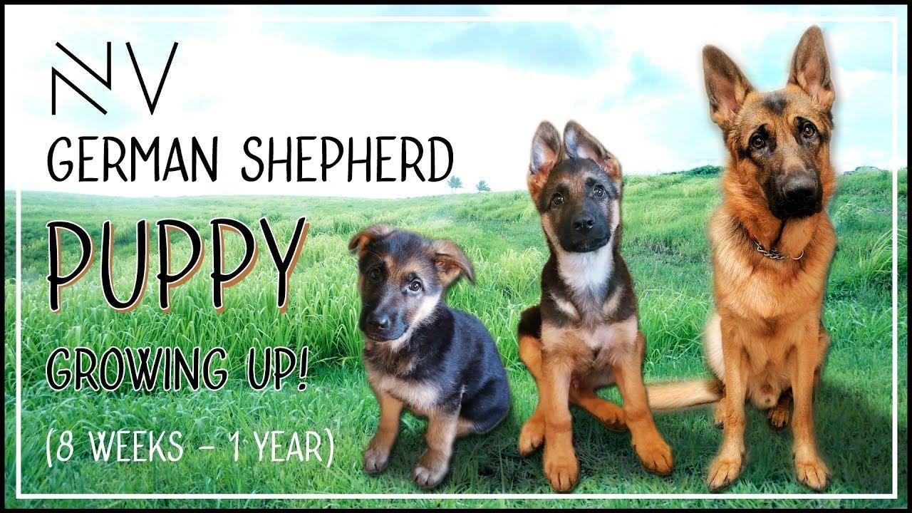 German Shepherd Puppy Growing Up 8 Weeks 1 Year Nerdvlog Youtube German Shepherd Puppies Shepherd Puppies German Shepherd Puppies Training