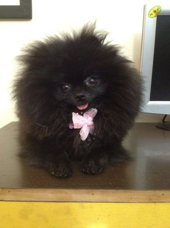 Pet Supplies Store Online Pet Products Shopping India Dogspot In Toy Dog Breeds Pomeranian Puppy Cute Animals