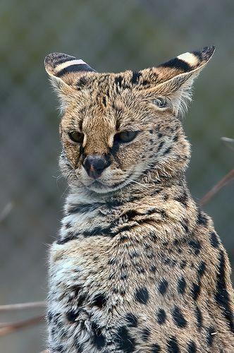 Can Cats Drink Milk CatsAndDogs2 ServalCats Cats