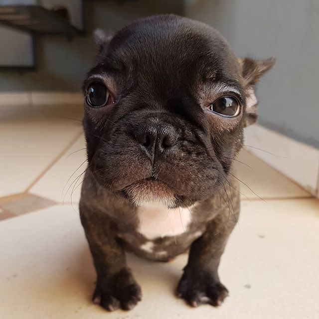 Good Looking Black Blue French Bulldog Puppies I Want This Color