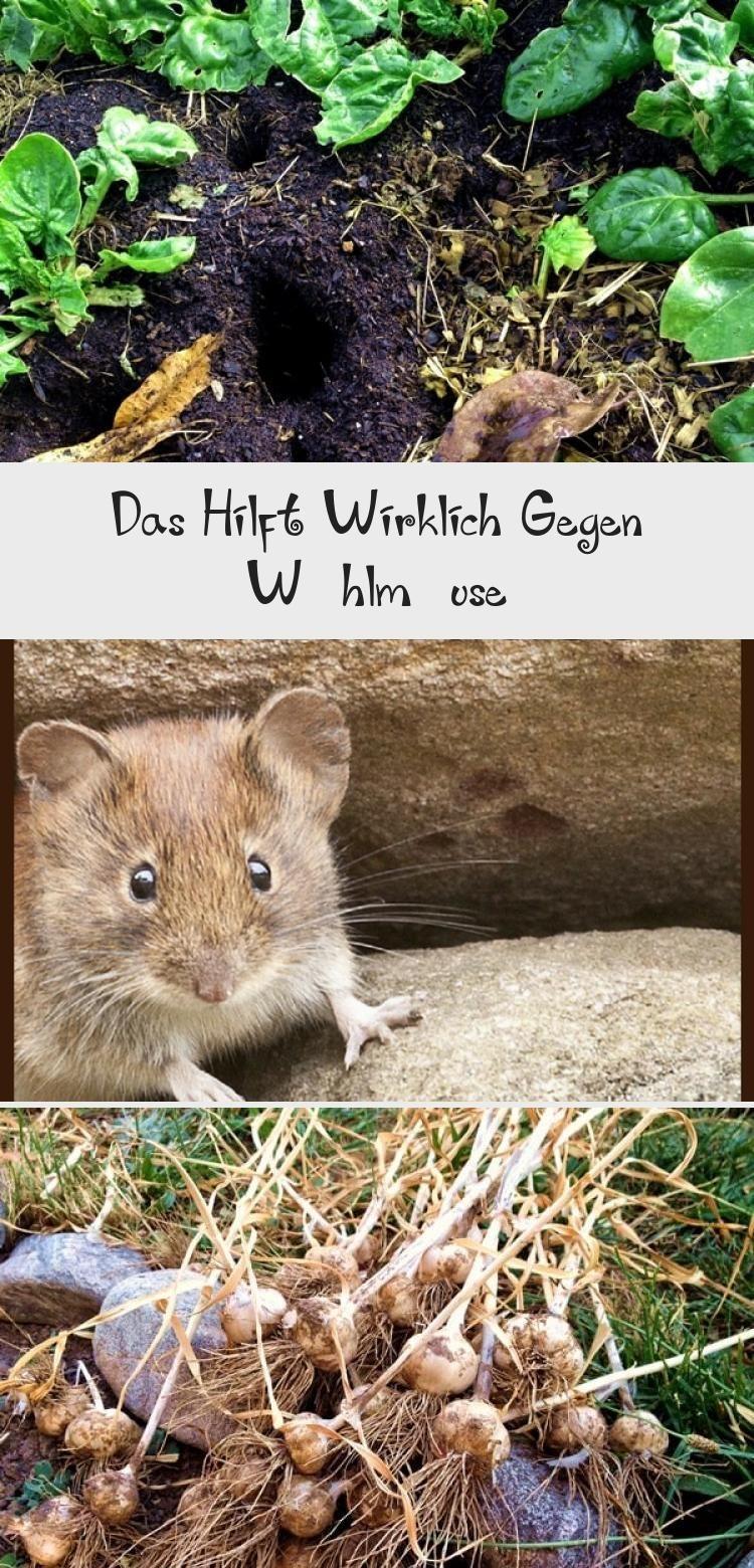 Wuhlmause Feldmause Erfolgreich Aus Dem Garten Vertreiben Bekampfen Garten Wuhlmaus Selbstversorgung Gartenplanunggestaltung Gartenplan Animals Hamster