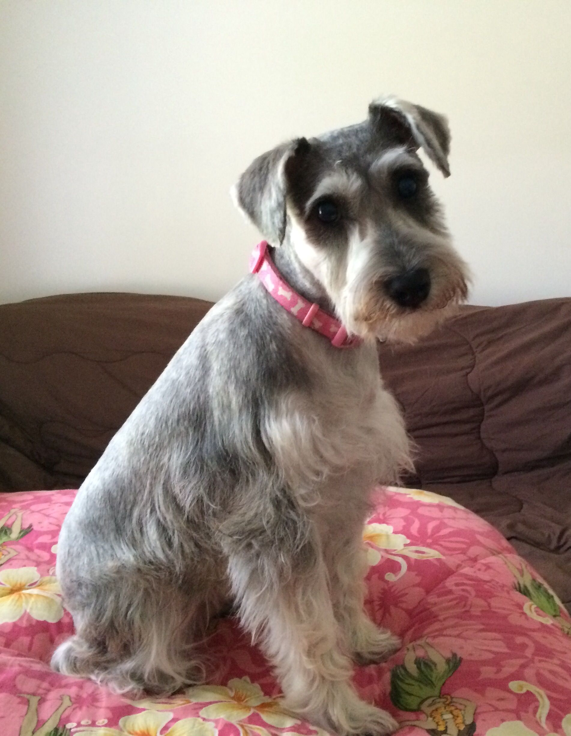 Pin By Guadalupe Valdez Infante On Darlin Our Girl The New Dorkie Dory Black Schnauzer Schnauzer Puppy Mom