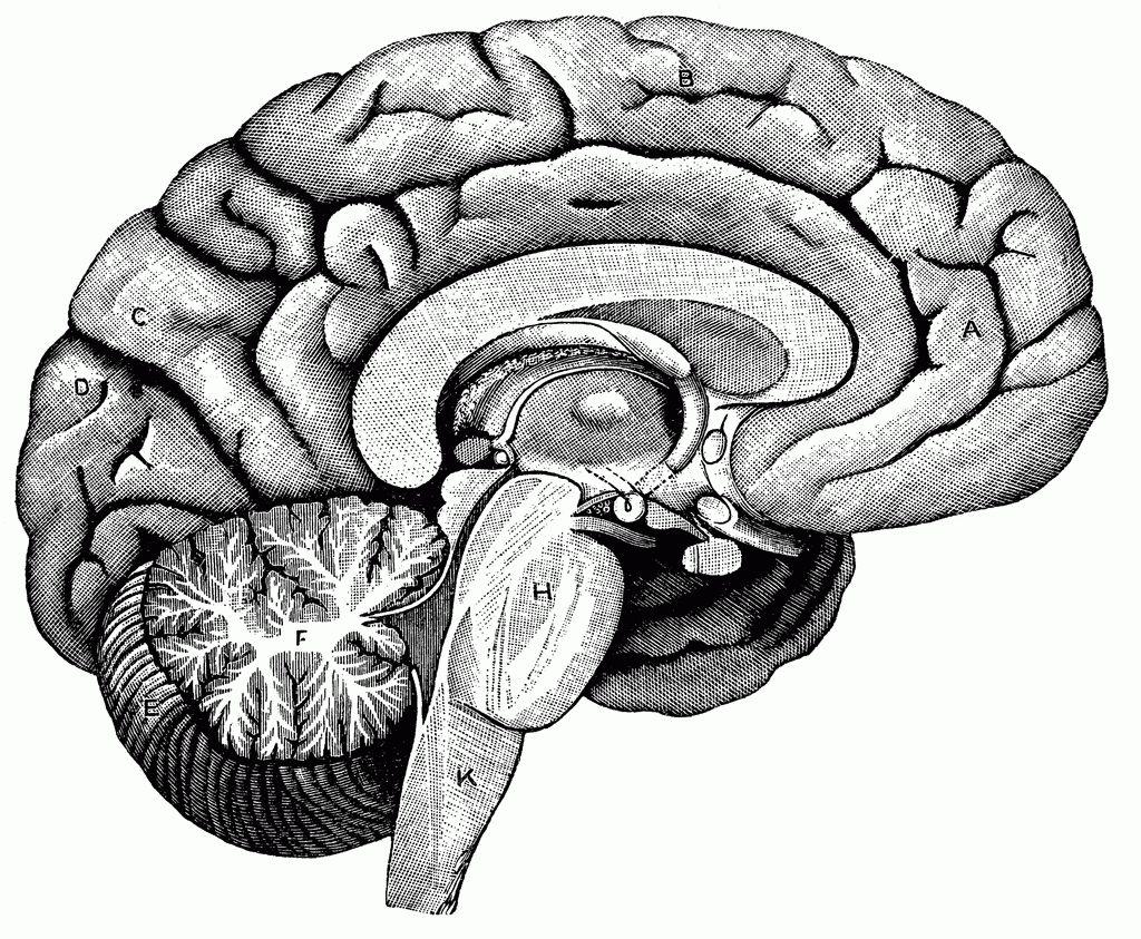 Pleasing Human Brain Worksheets In Human Brain Diagram Labeled