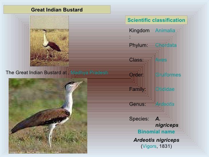 great indian bustard ardeotis nigriceps google search