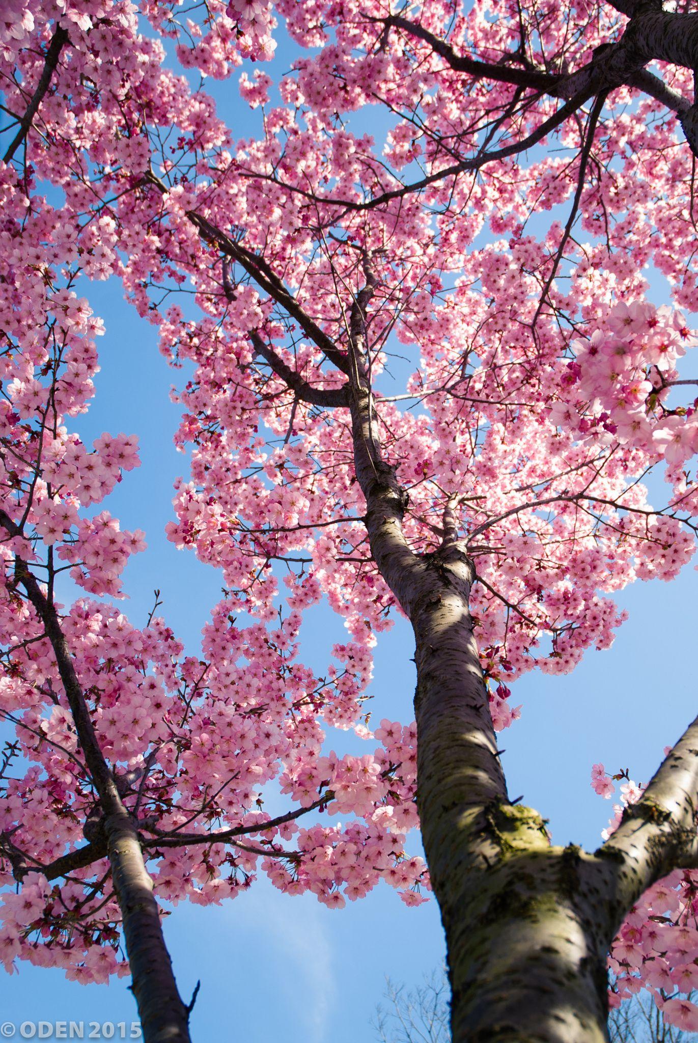 Sakura In The Sky Cherry Blossom Wallpaper Beautiful Nature Wallpaper Nature Flowers