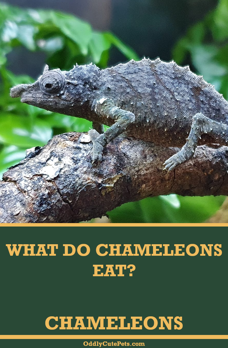 What Do Pet Chameleons Eat In 2020 Chameleon