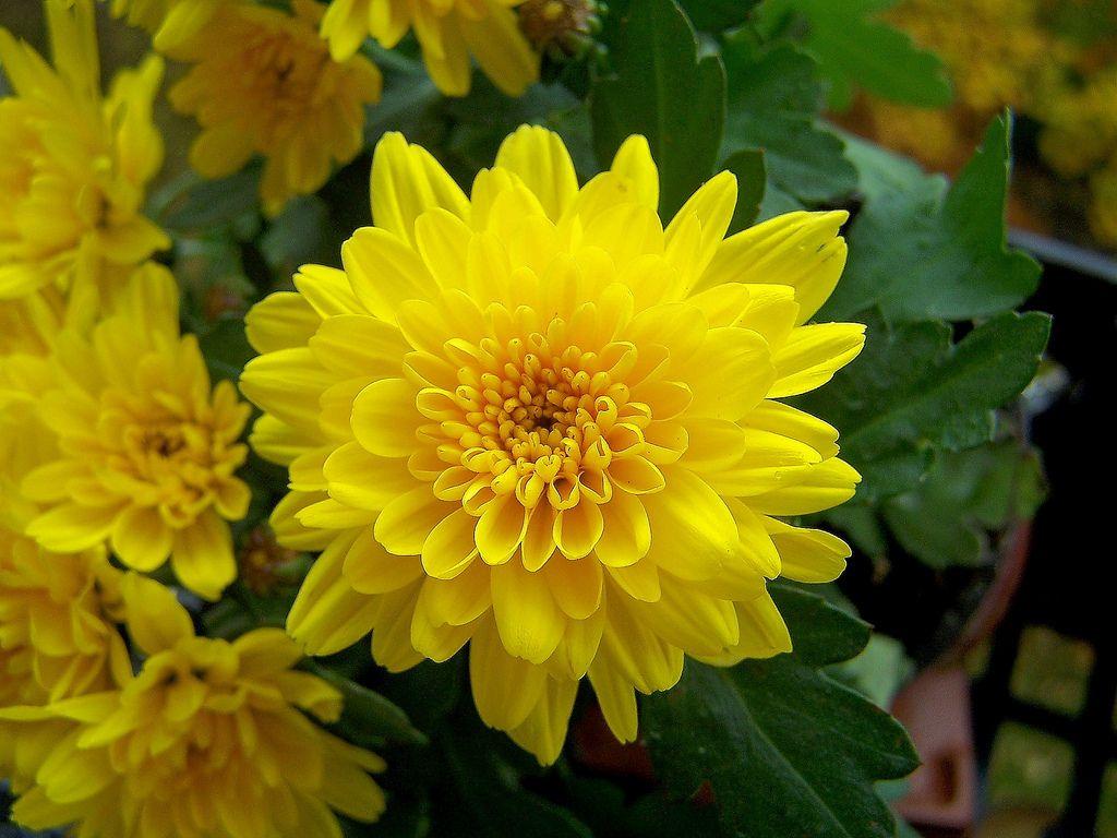 Lieblings Chrysanth Chrysantheme Chrysanthemum Indicum - cúc vàng thường &SZ_51