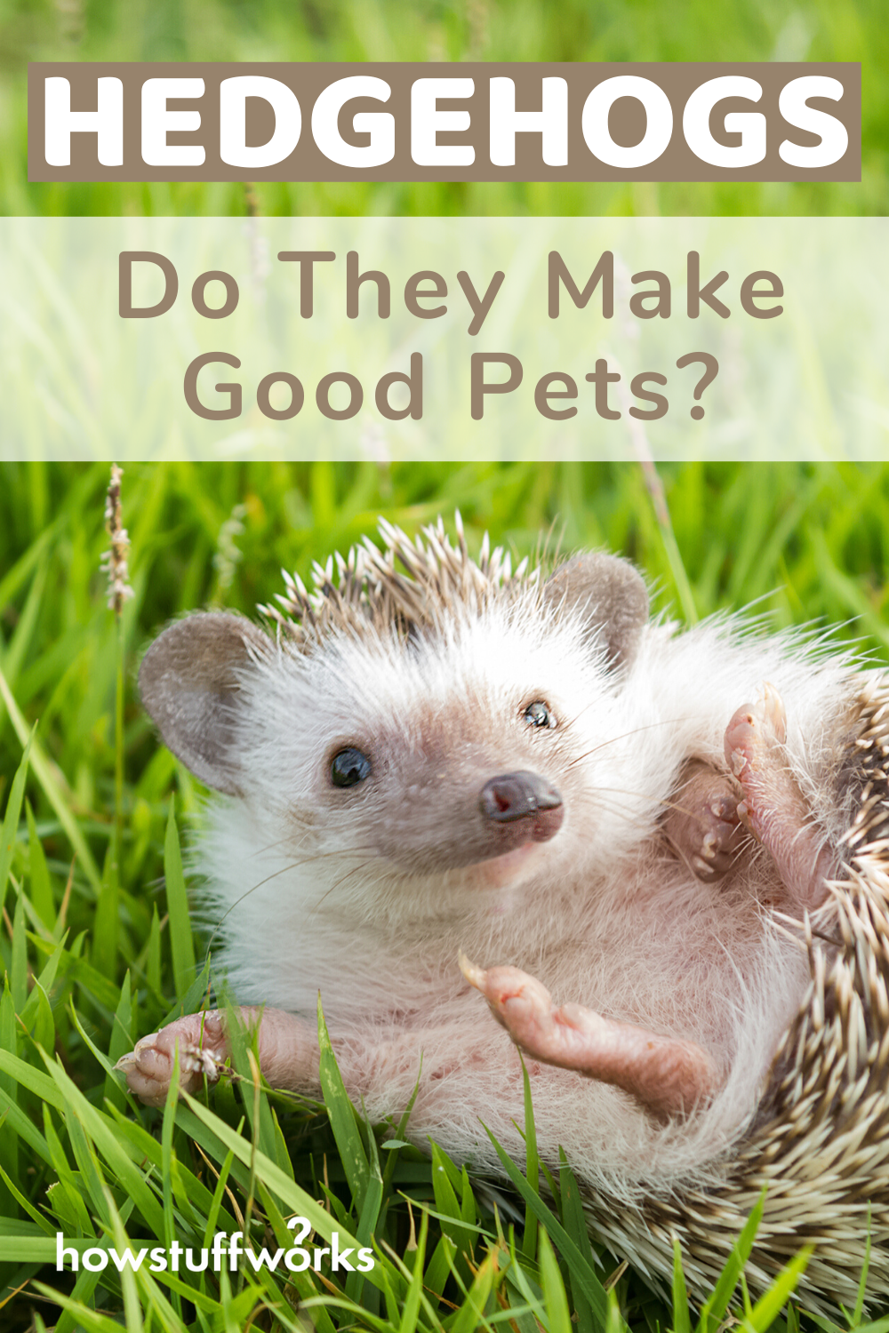 Hedgehogs Adorable But Do They Make Good Pets In 2020 Hedgehog Pet Pets Dog Love