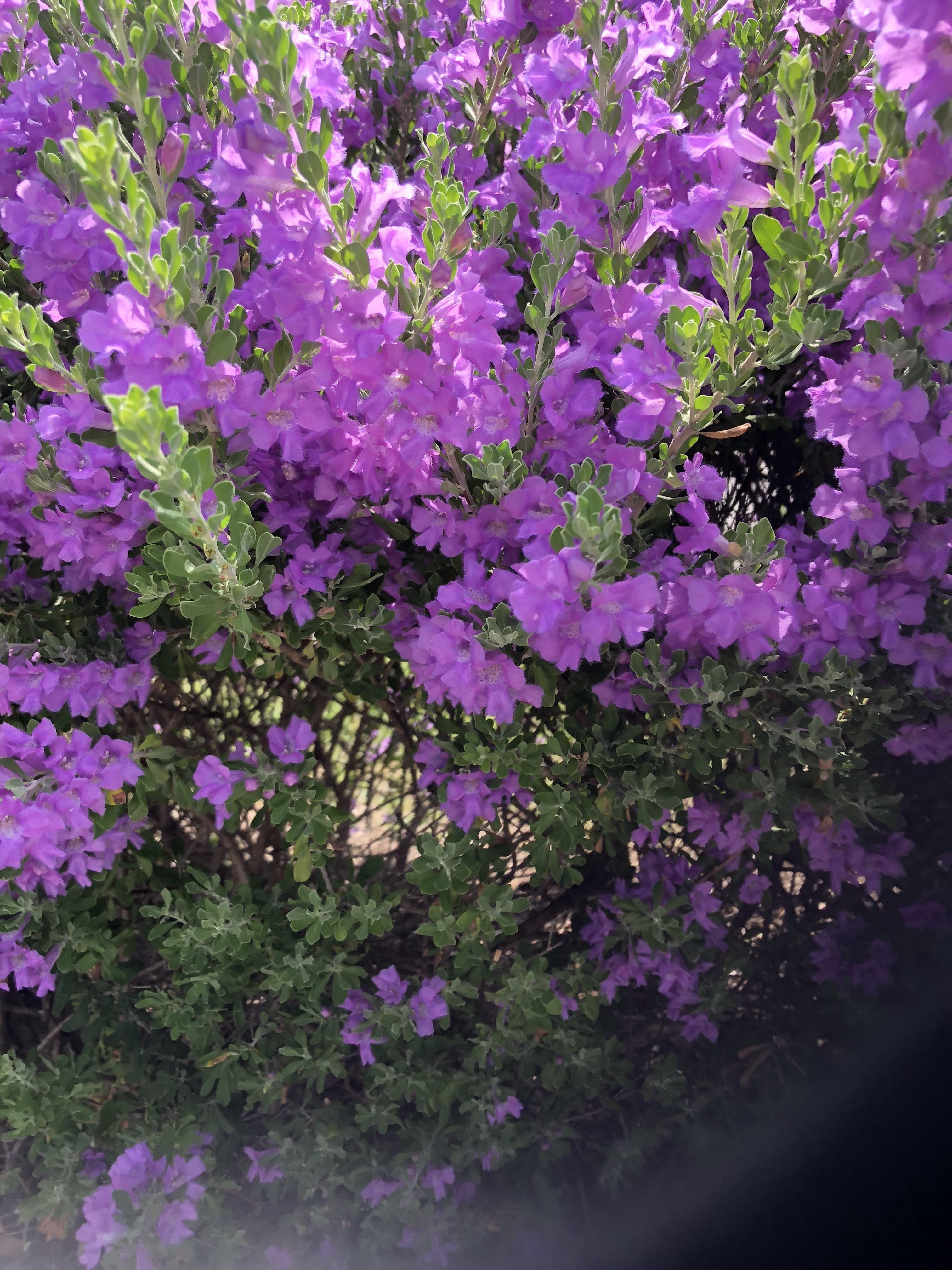 flowering shrubs with purple flowers