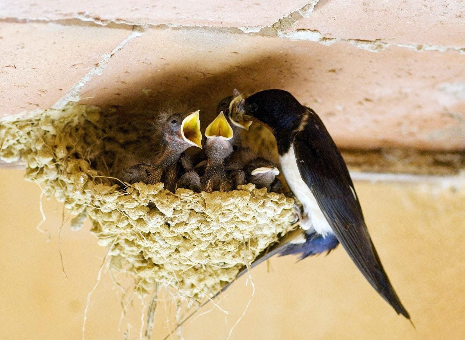 Картинки ласточка с гнездом