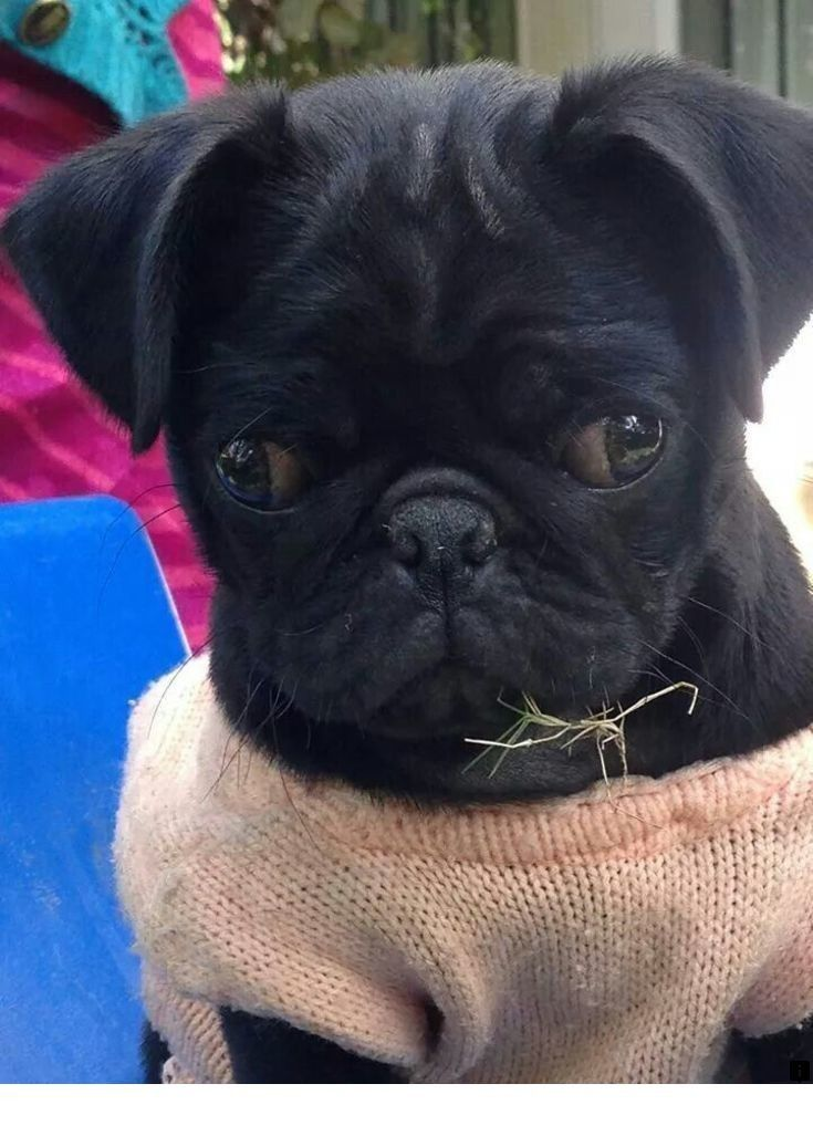 Check out the webpage to read more on pug puppies for