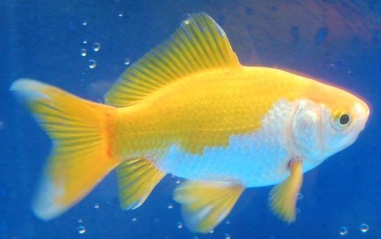 Goldfish nice solid yellow and white hibuna goldfish for Golden fish pipe