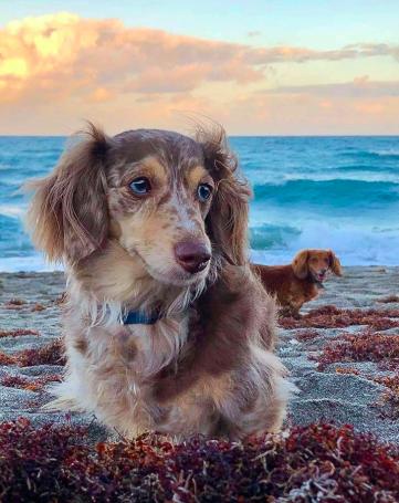 Good Breeder Gina S Cuddly Doxies Doxie Dachshund Puppy Best Dogs